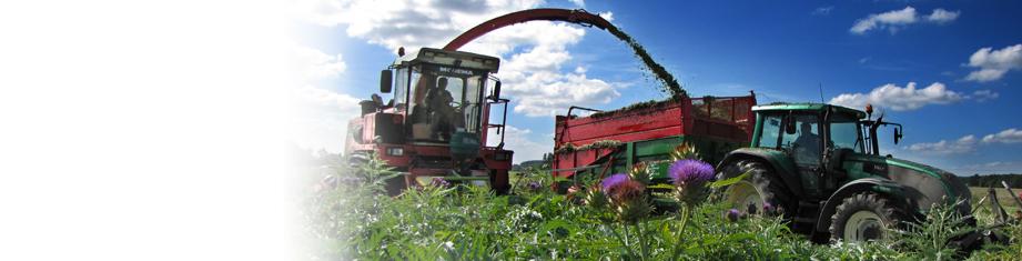 Récolte artichaut