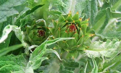 Artichaut cultivé EVEAR EXTRACTION